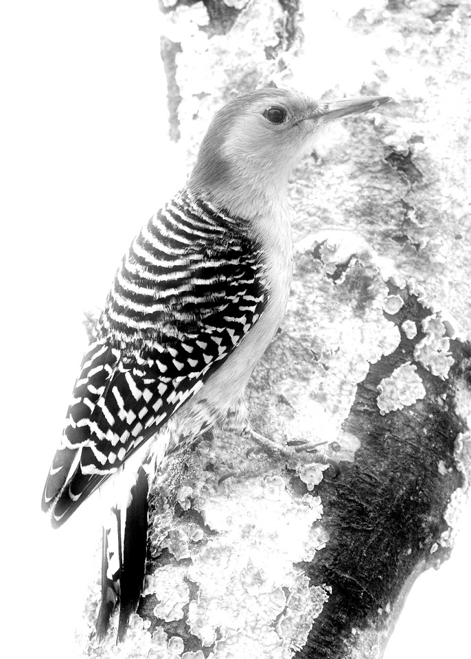 DSS 18 - High Key or Low Key (Audobon Woodpecker) Draft 1
