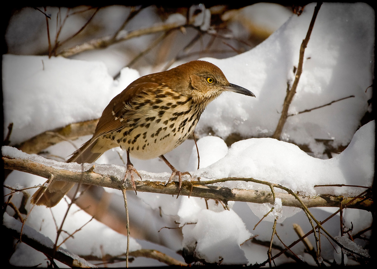 Brown Thrasher on a Snowy Branch