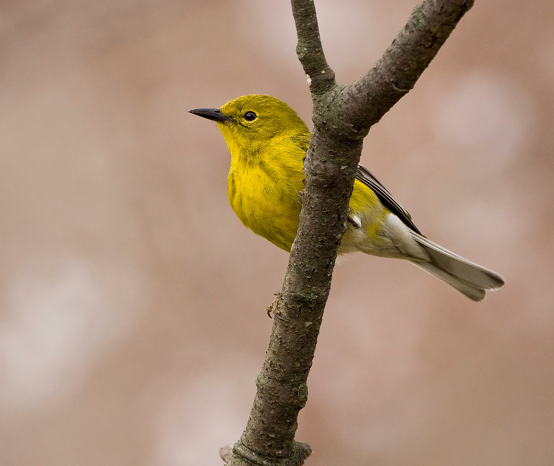 Corrected Id: Pine Warbler<br /> <br /> Have never seen one of these birds before. Came to my feeder for a short time today.<br /> <br /> (P.S. Seems my workplace has blocked commenting on smugmug via firewall or a security setting sometime about 2-3 weeks ago.)