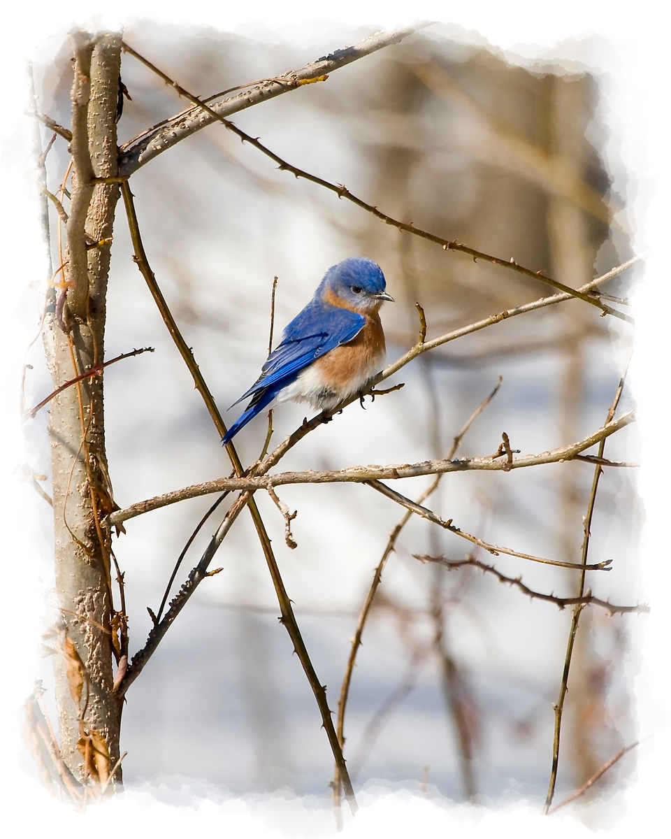 Male Bluebird in Snowy Scene