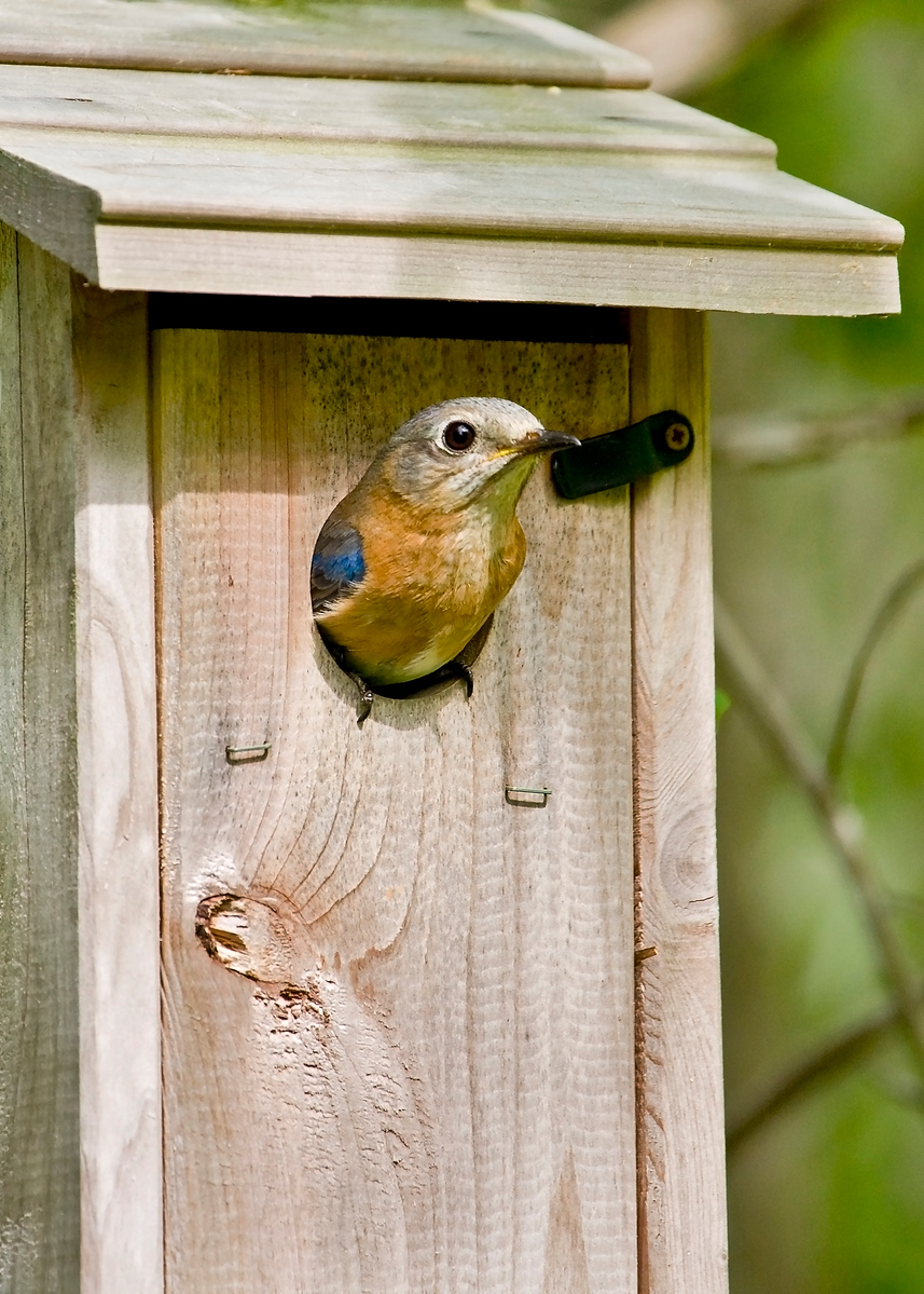Momma Bluebird in a Nest Box