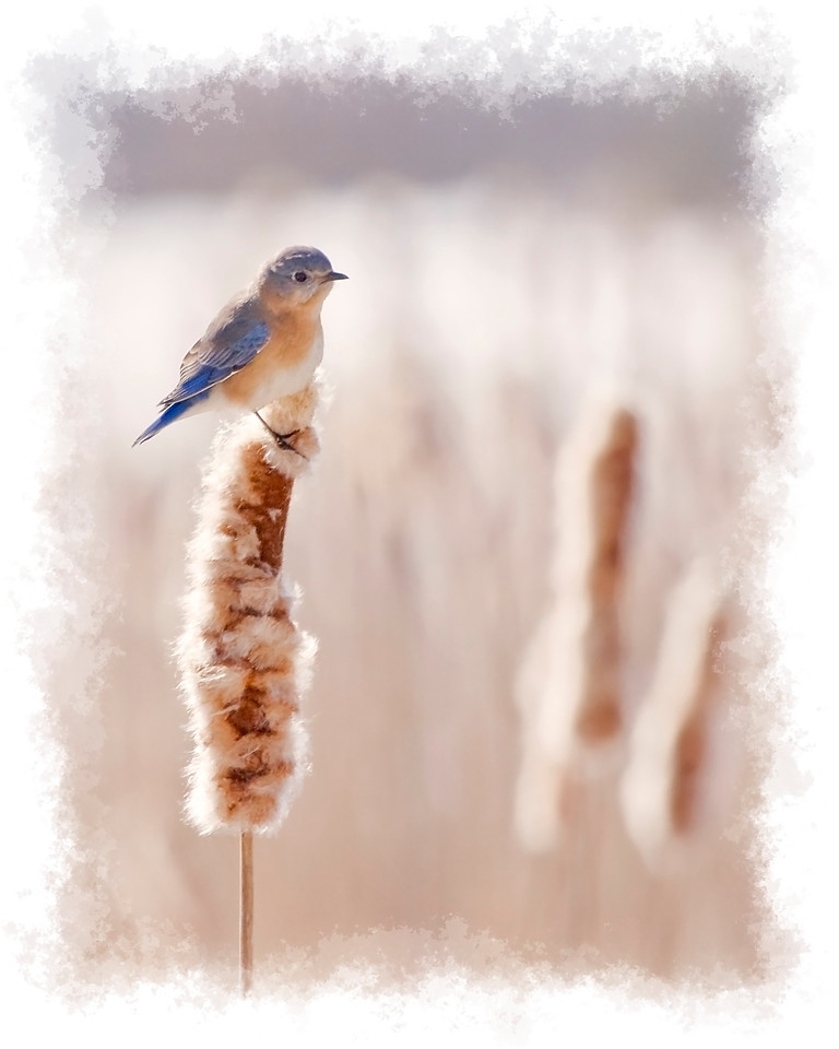 Bluebird on Cattail