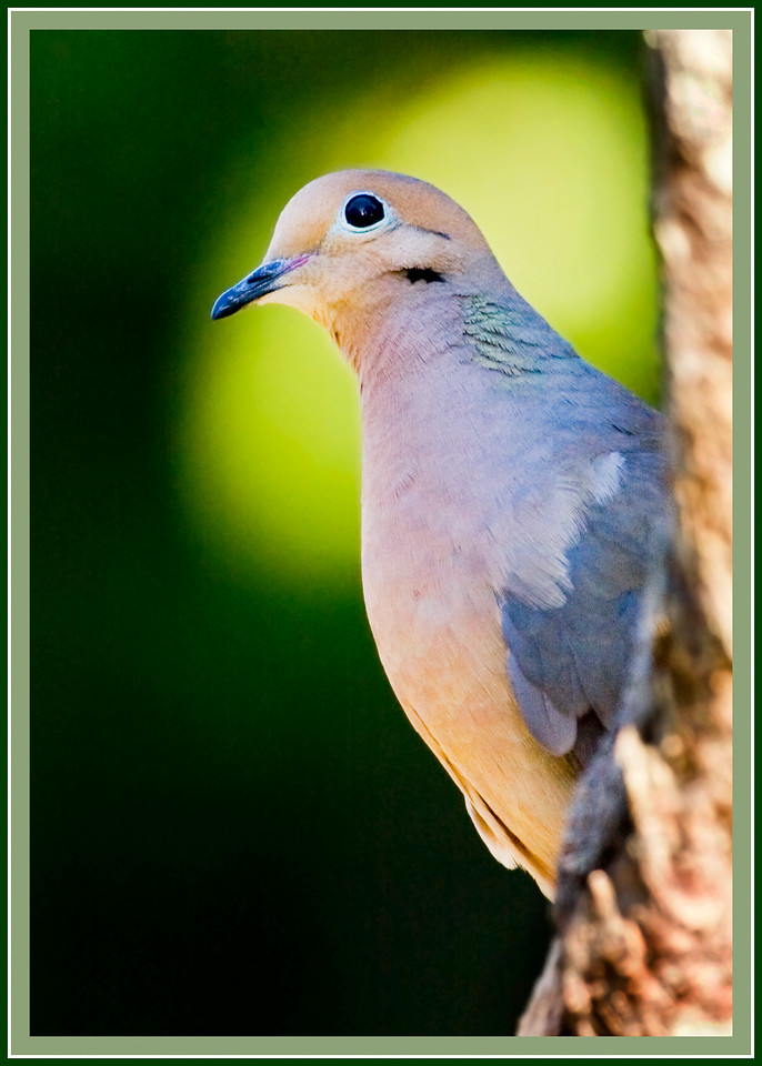 Mourning Dove in Shade