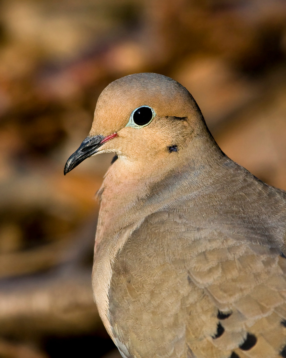Mourning Dove  Add a little eyeliner and she's ready for an evening of fun! ( I think it may be a she ... don't know how to tell girls from boys with doves )