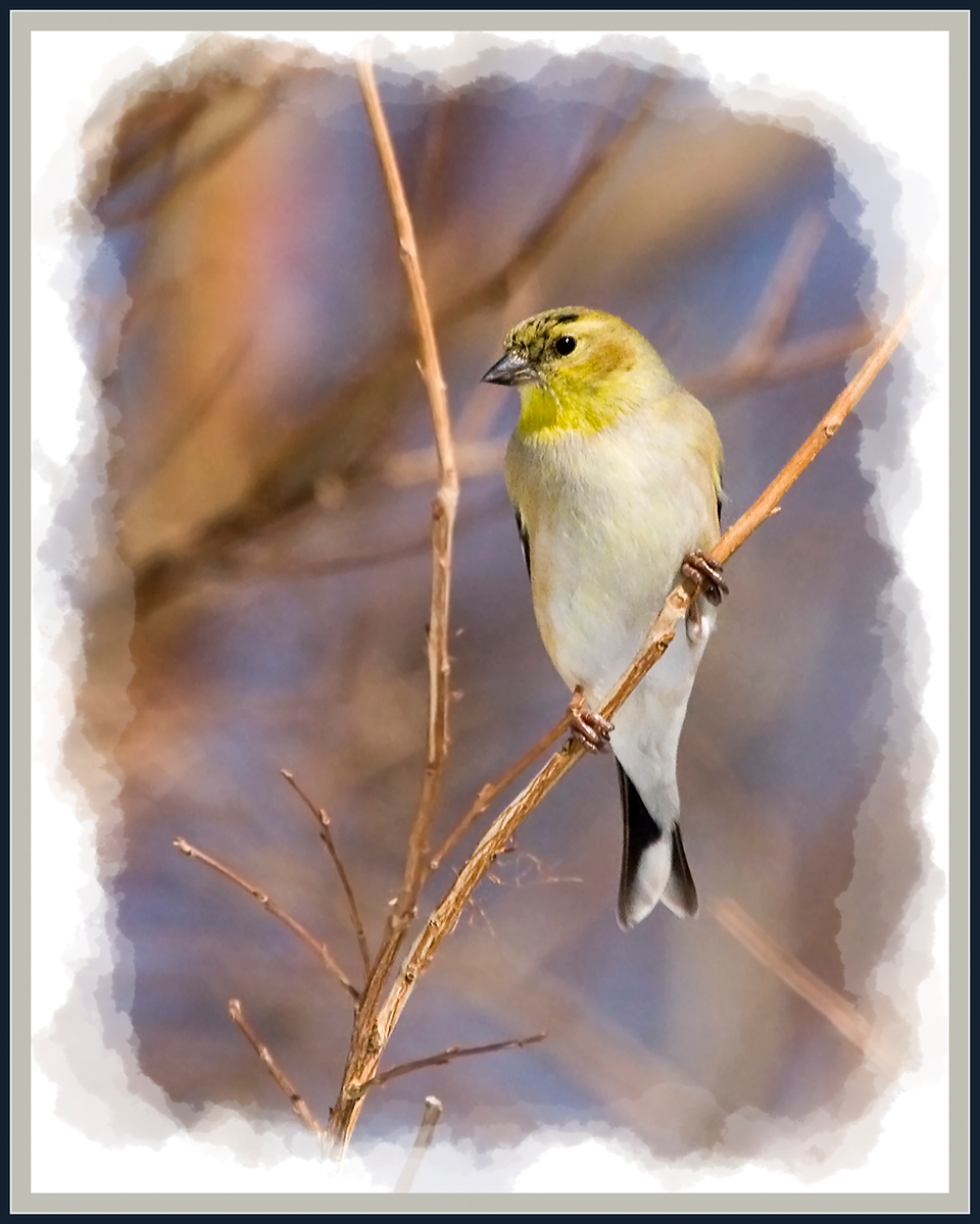 Goldfinch in Winter Colors