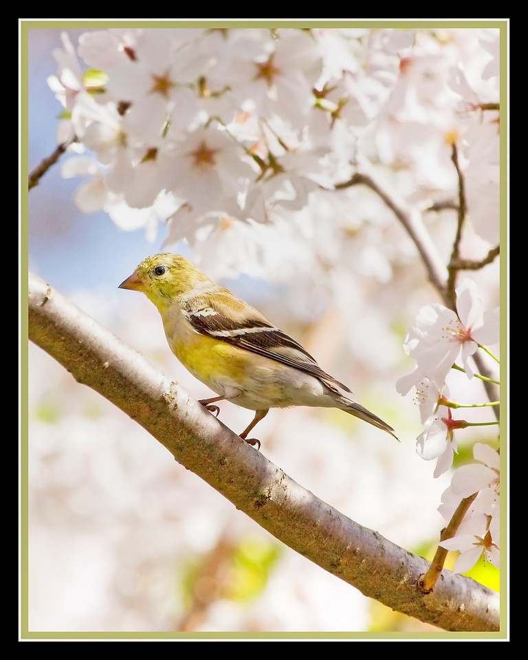 Goldfinch in Cherry Tree