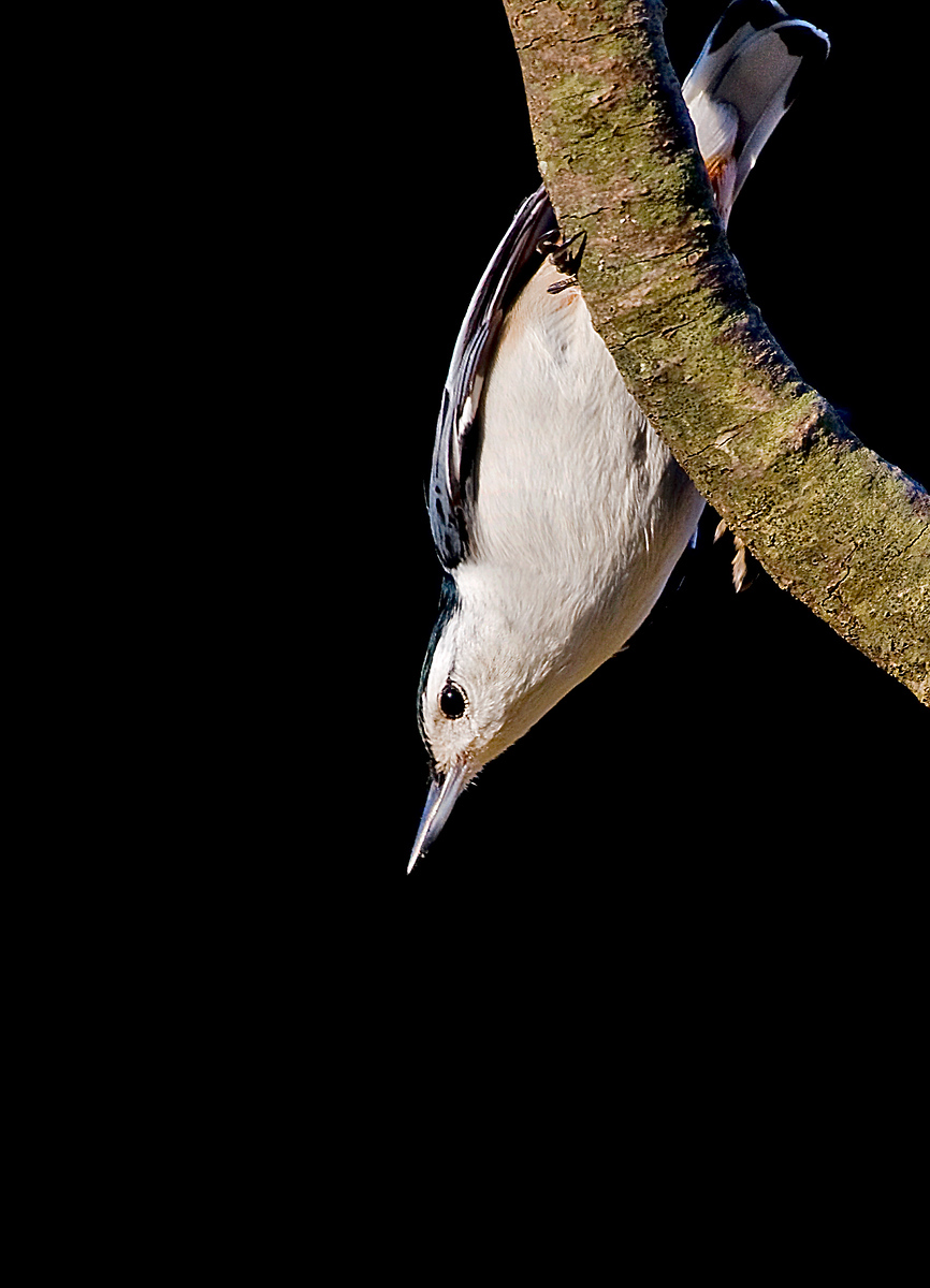 A Curious Nuthatch   (not to be confused with A Curious Camel ... those are way cooler *grin*)