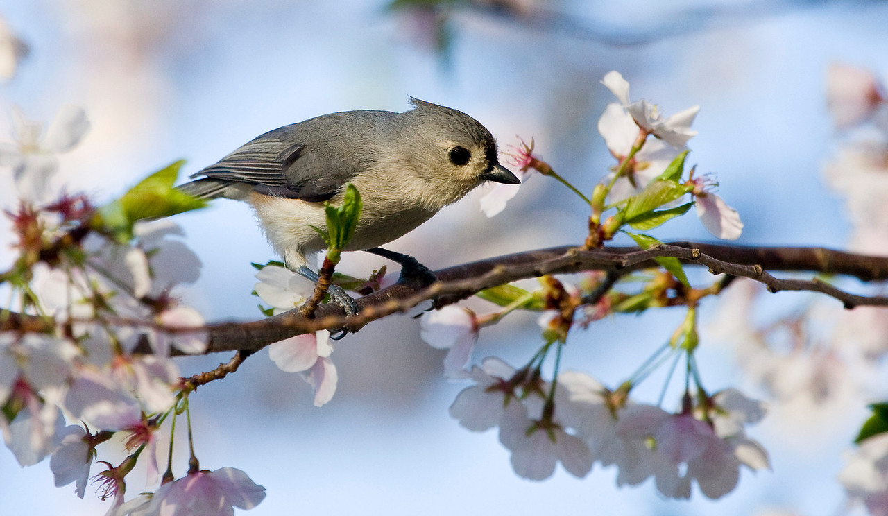 Tufted Titmouse in Cherry Tree  With the wind we've been having, the cherry blossoms are going very fast this year.