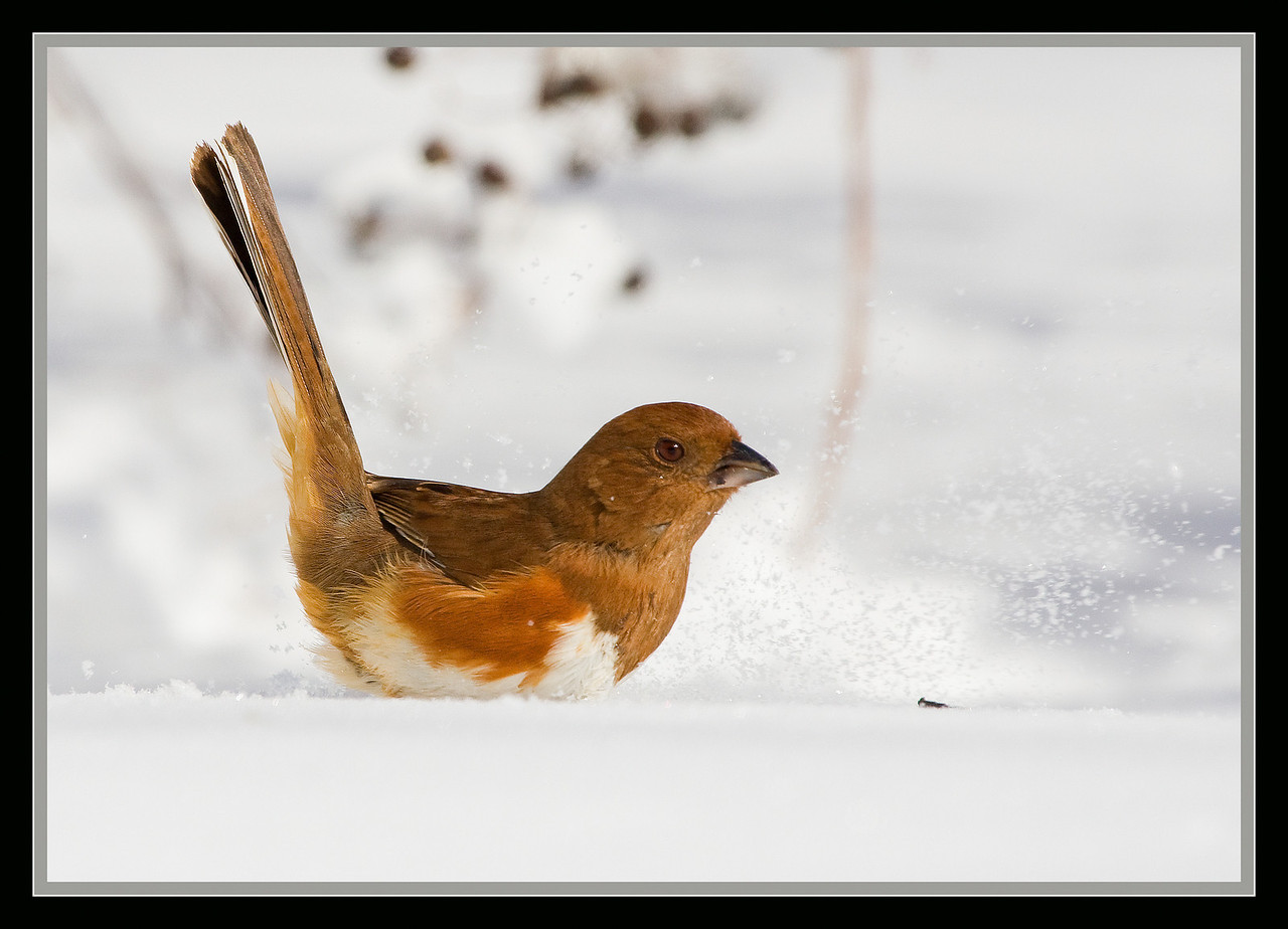 Female Eastern Towhee in the Snow