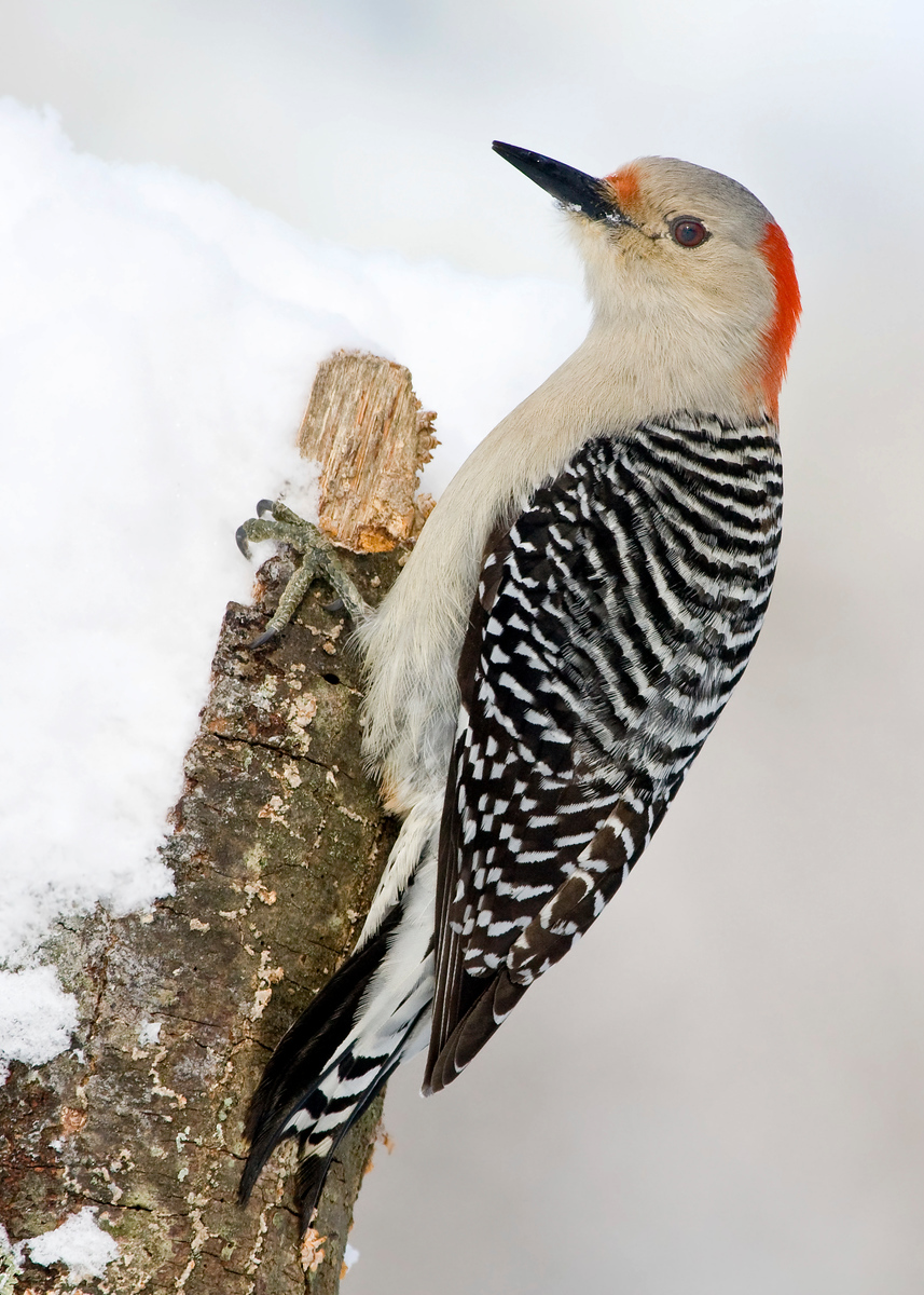 Red Bellied Woodpecker, Female, In Snow  Yep, we ended up with a foot of snow from this storm. Not usual at any time in this area, but downright freaky that it happened in March.
