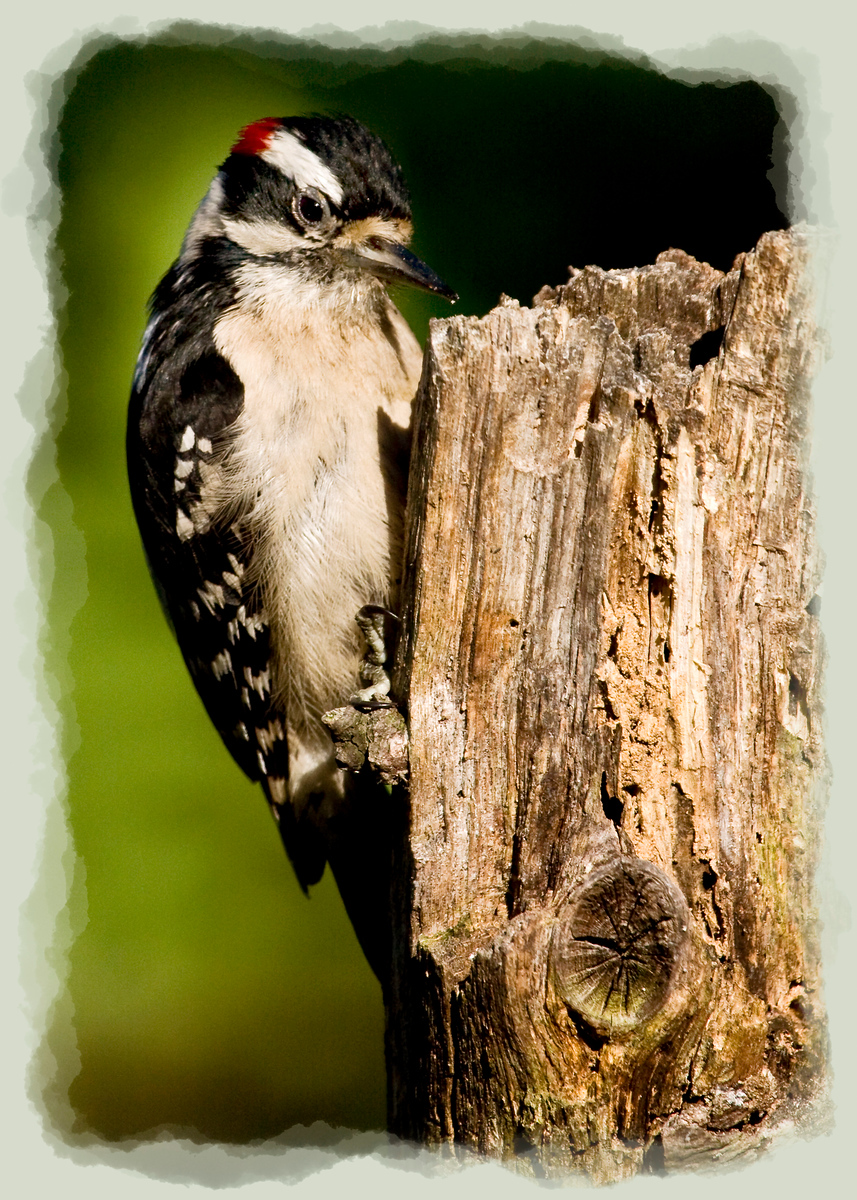 Male Downy Woodpecker  I think there are times (like this one) where having a flash setup to illuminate the background would work real well. Only a few of the leaves of the background tree were in sunlight and it would have been better to light them all.