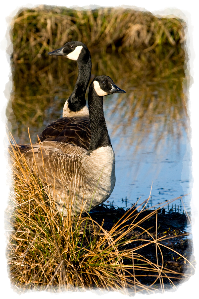 Geese at Huntley Meadows