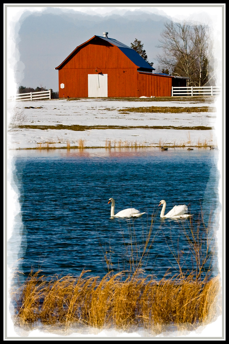 Mute Swans at Beauvue Ponds