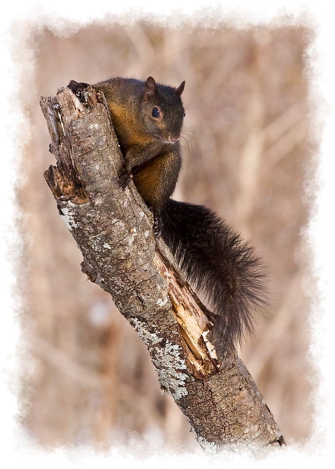 Melanistic Squirrel on Tree Stump