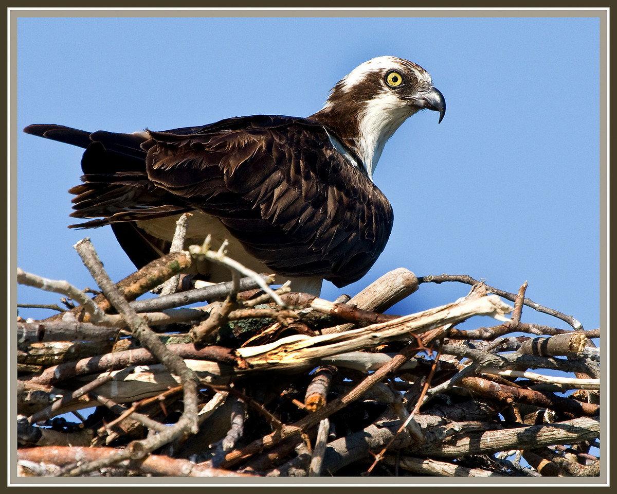 Male Osprey in nest at the end of Clarkes Landing Restaurant Pier<br /> <br /> (Taken from my kayak while dodging speedboats and trying not to get capsized)