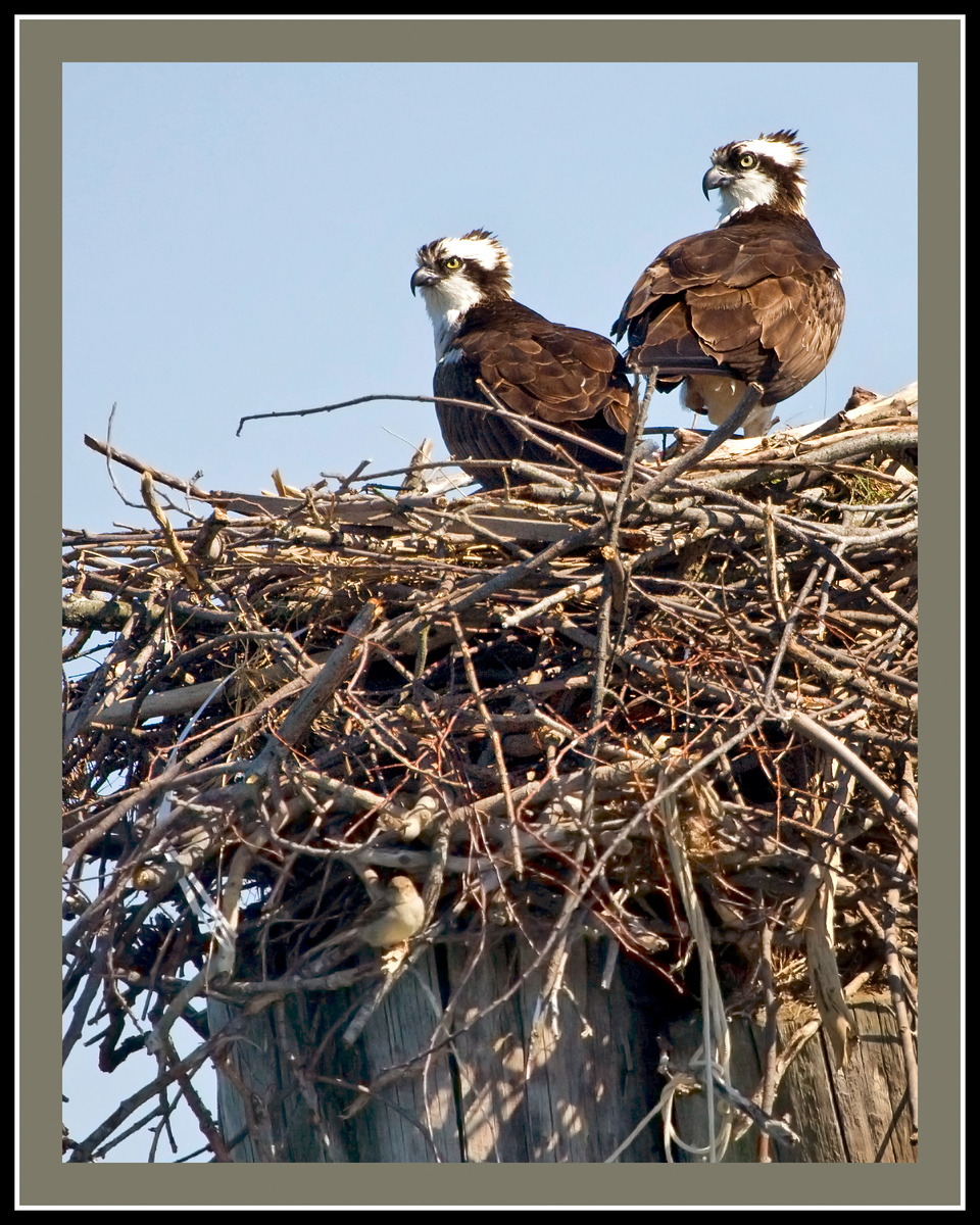 Osprey Pair in Nest  (taken from a Santee 116 Sport Kayak off the Clarkes Landing Restaurant pier on the Patuxent River)