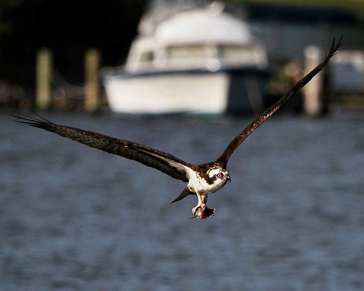 Male Osprey with Lunch Pail