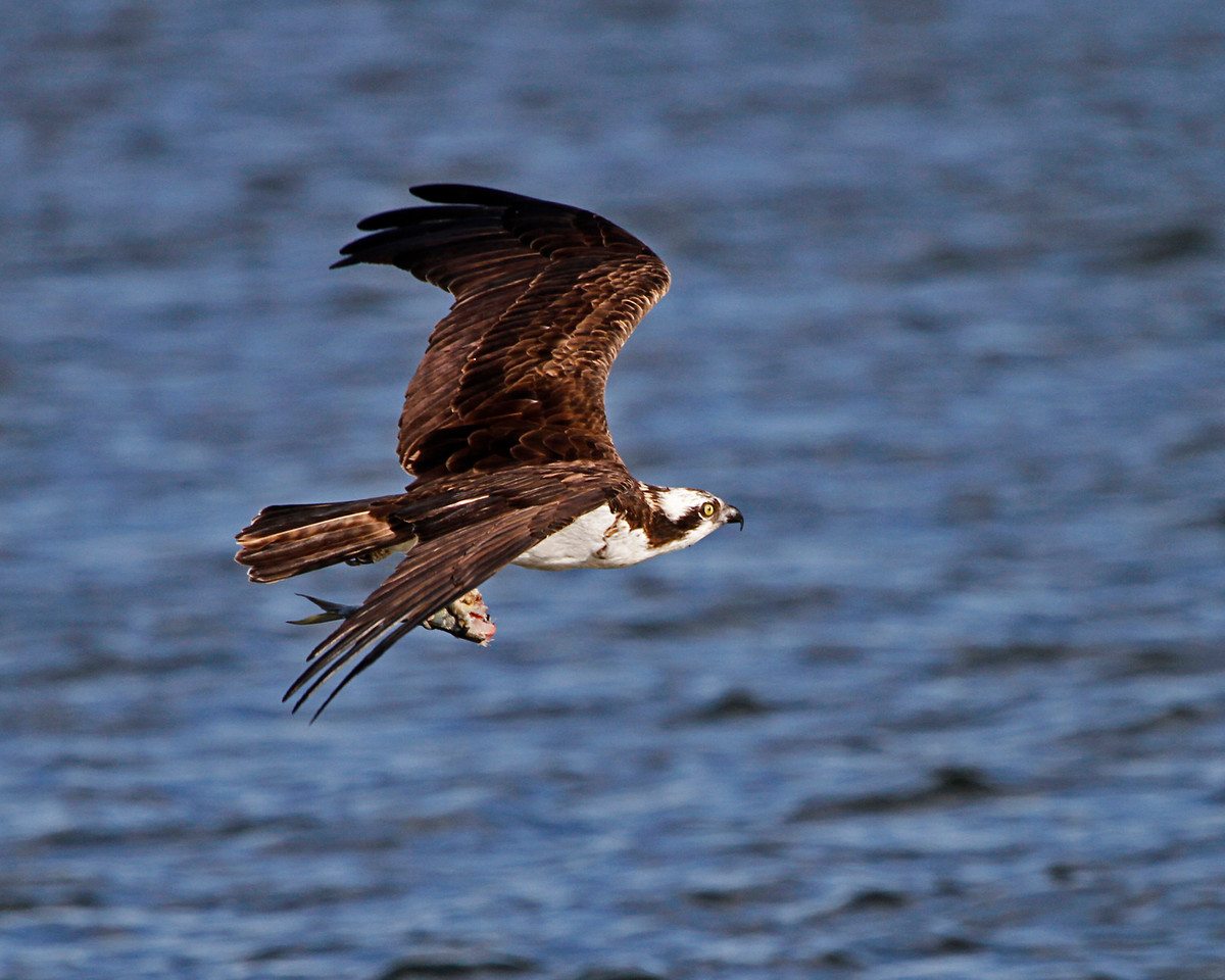Male Osprey flying away after a failed courtship