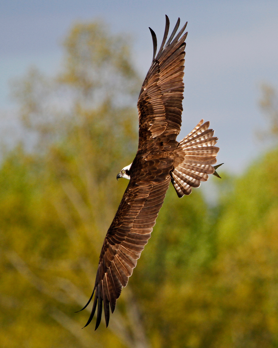 Male Osprey in Flight