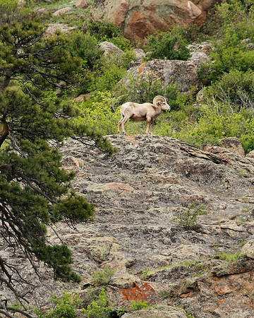 Bighorn Ram on a mountainside in Rocky Mountain National Park. This was from the West Alluvial Fan parking lot in Endovalley