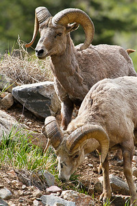 BIghorn Rams in Georgetown Colorado