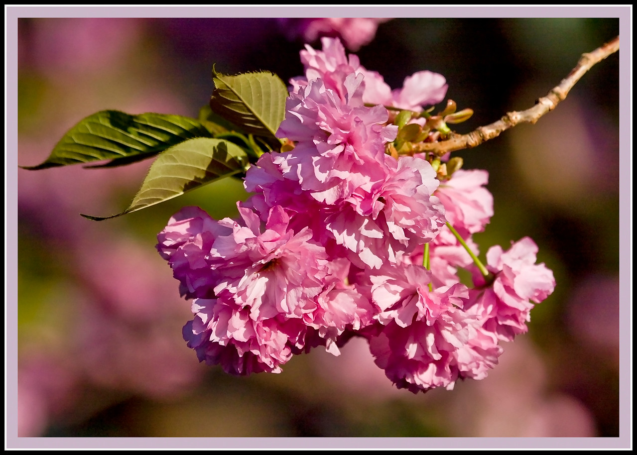 Kwanzan Cherry in Bloom