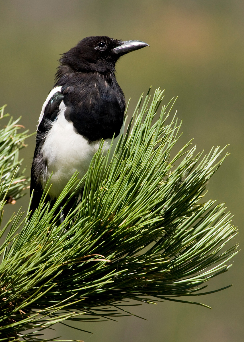 Black Billed Magpie in a Ponderosa pine tree in Horseshoe Park, Rocky Mountains National Park