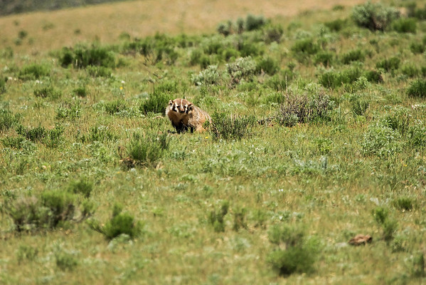 Badger in Lamar Valley