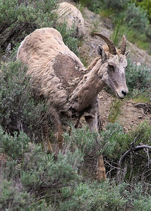 Juvenile Bighorn in Lamar Valley