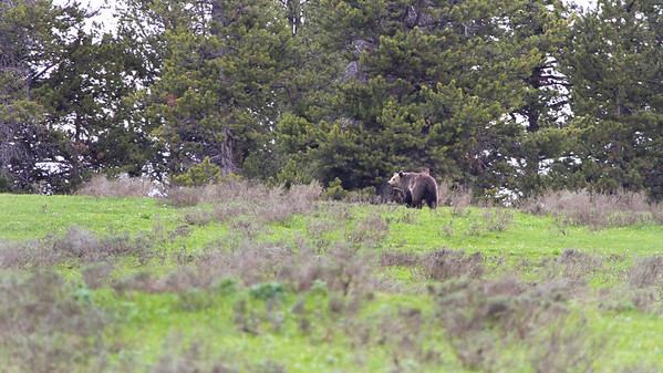 Grizzly in Hayden Valley