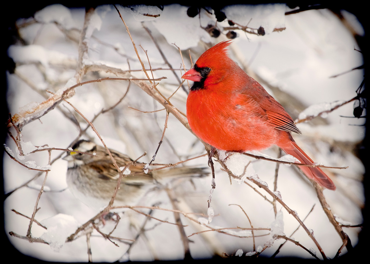Male Northern Cardinal and White Throated Sparrow