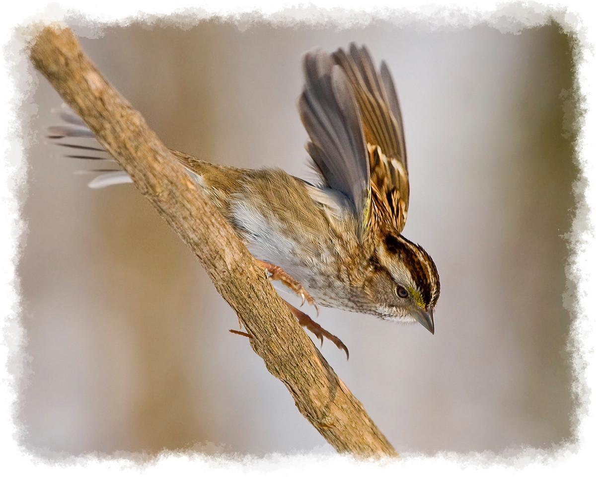 White Throated Sparrow taking off