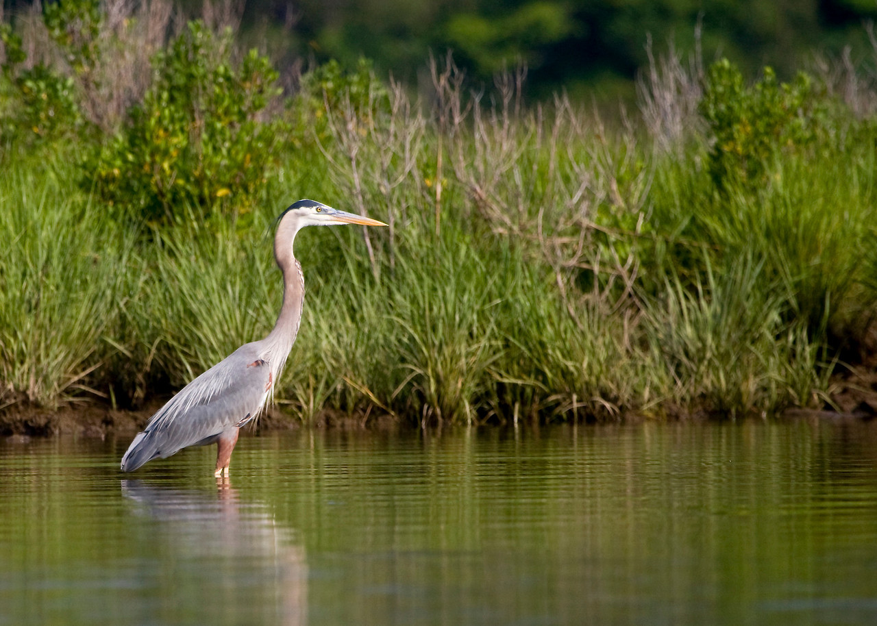 Great Blue Heron in the Upper St. mary's River, Southern Maryland