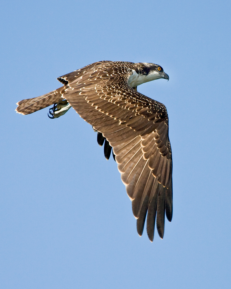 A Better Behaved Juvenile Osprey<br /> <br /> This one was circling around me trying to scare me away from his mother. What a dutiful son!