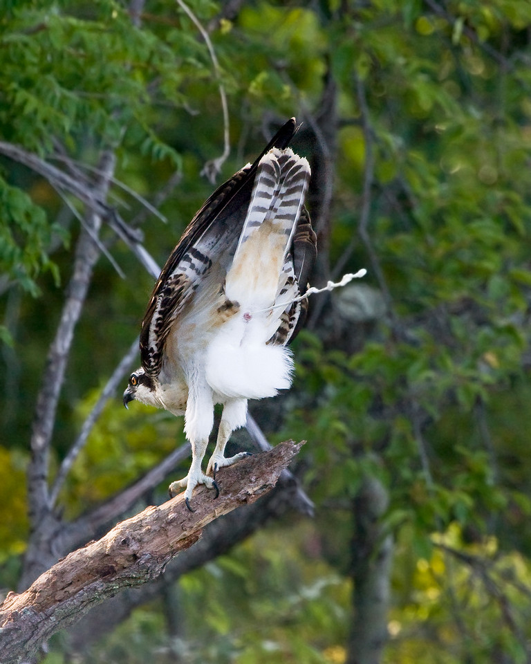 Oh My! I guess this juvenile osprey told ME what he thinks of cameras!