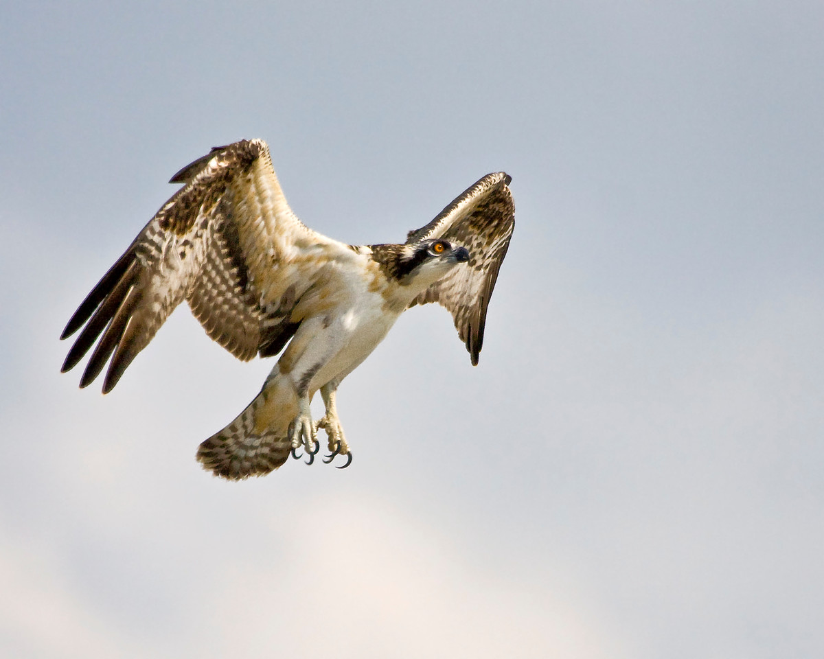Juvenile Osprey<br /> <br /> The fledglings are starting to try thier wings for real now!