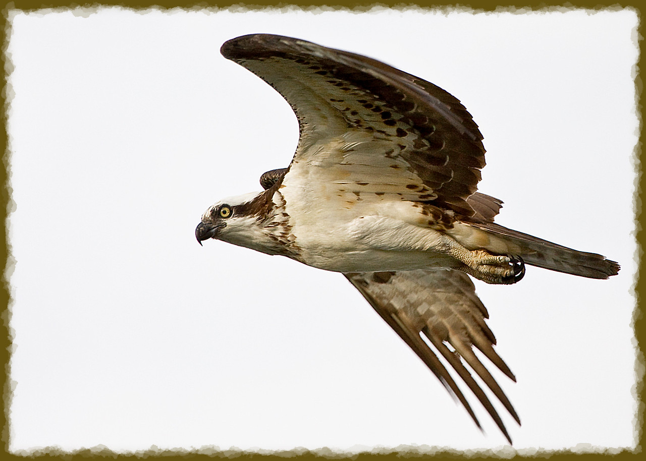 Female Osprey<br /> <br /> Not much of a crop on this one, she was trying to drive me away. Thank the lord osprey haven't figured out how to get a restraining order yet!
