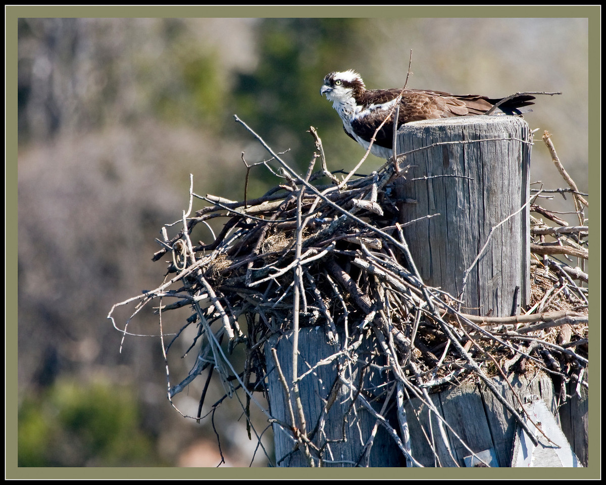 Male Osprey getting the nest ready.