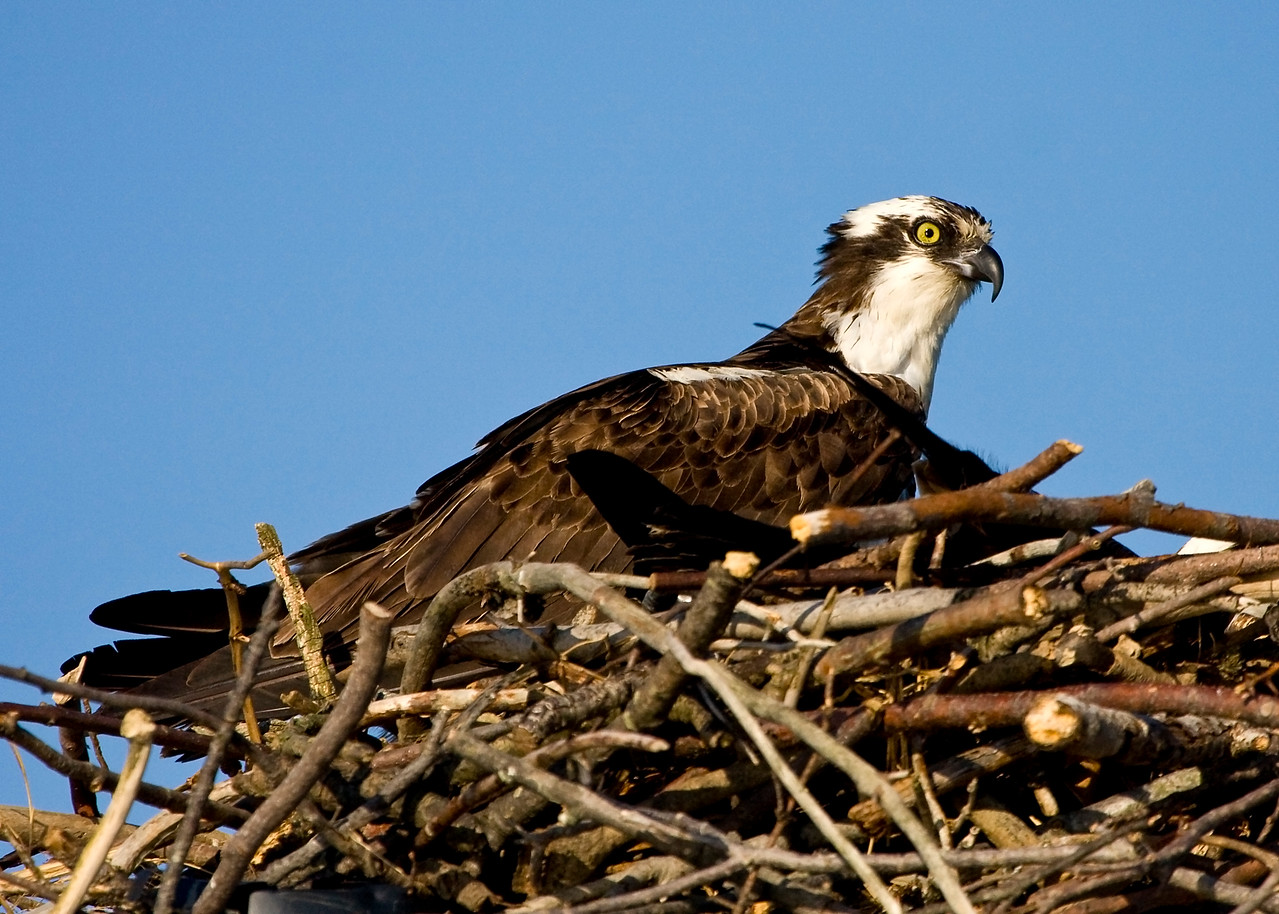 Male Osprey in Nest