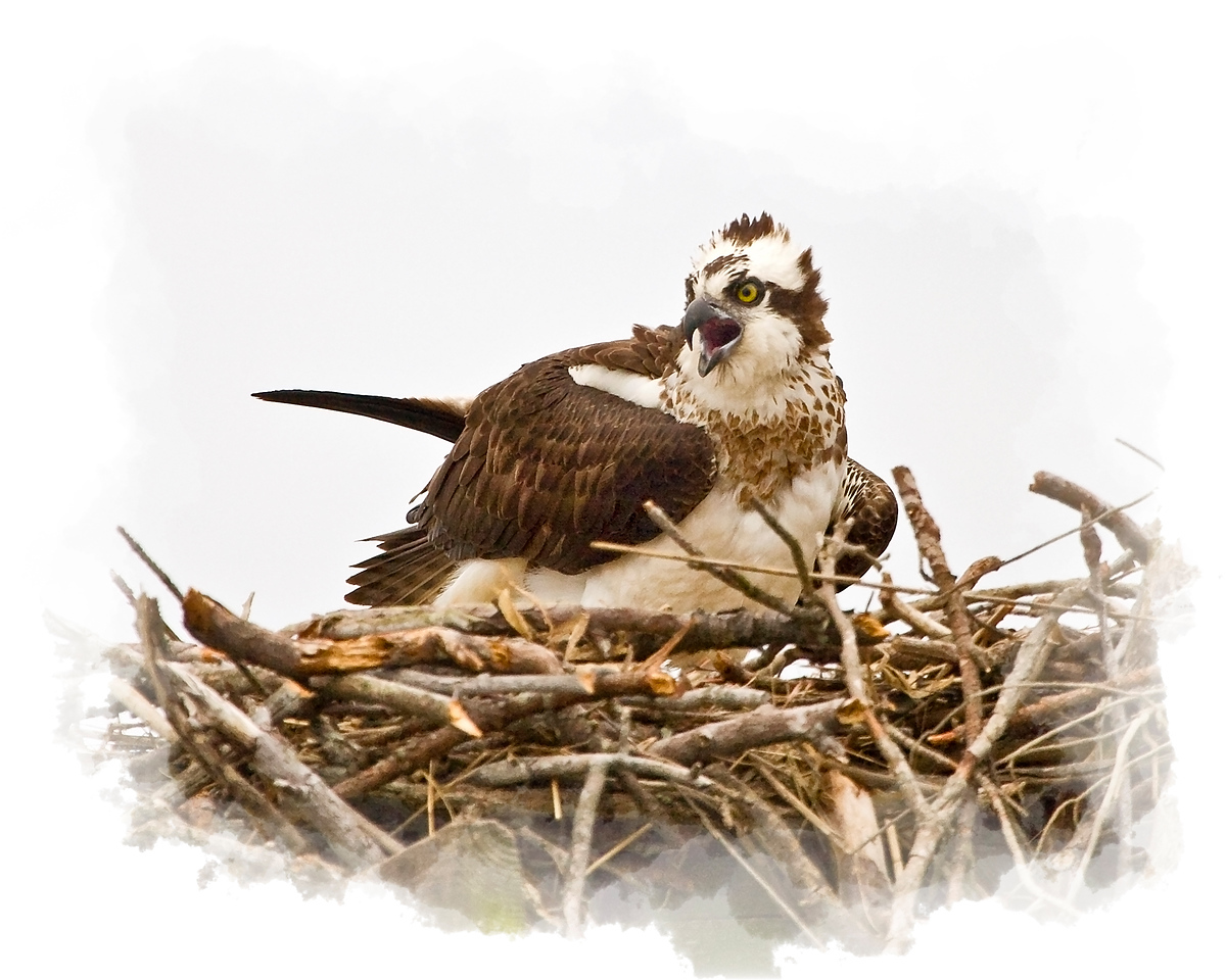 Female Osprey in Nest<br /> (taken from my Santee 116 Sport kayak in the Upper St. Mary's River, Maryland)